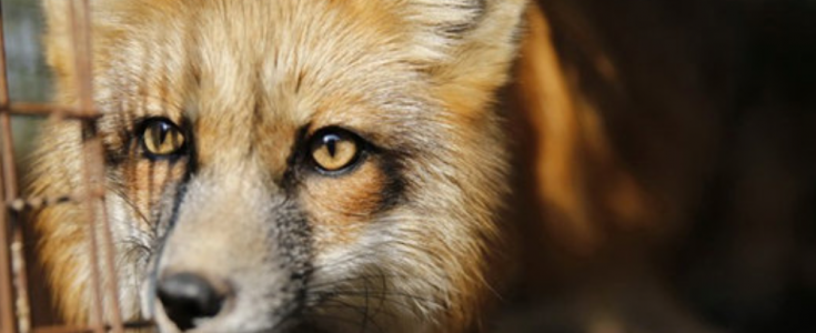 Fur debate in Parliament: ask your MP to attend