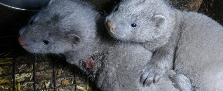 Ireland: fur farming ban included in Programme For Government document