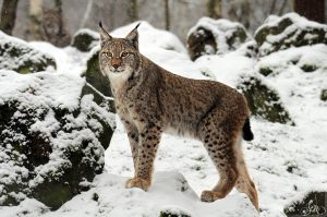 Lynx  8-12