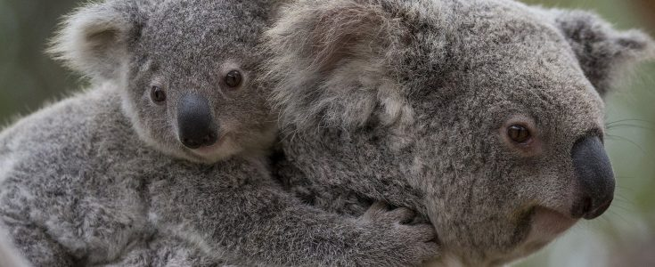 Koalas, Black August and the long bloody history of the fur trade