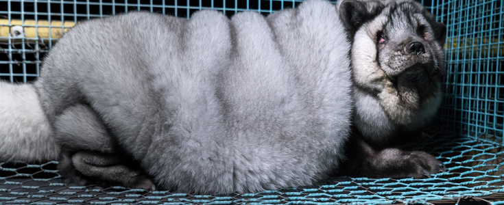 Breakthrough in campaign to end fur farming in Finland