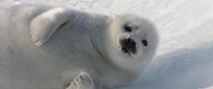 Save The Seals 2020: Boycott Canada