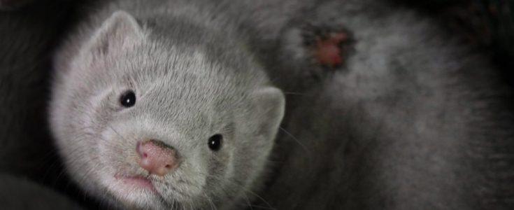 Slovakia is heading towards fur farming ban