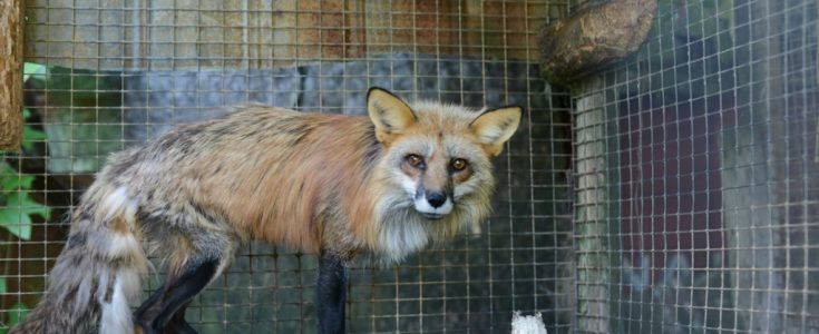 Tell Boris Johnson to ban fur imports