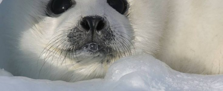 Canada's seal hunt has been virtually stopped by Covid-19