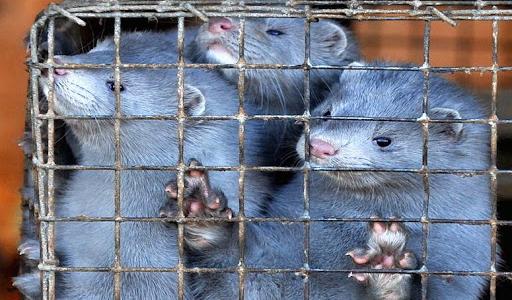Not a single mink left in Estonian fur farms