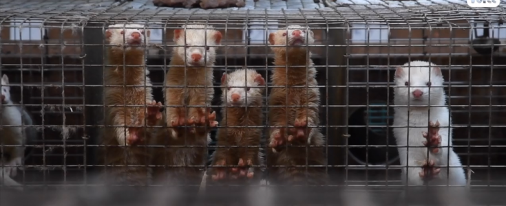 Fur farming is a risk to human health, as Covid mutations found in mink
